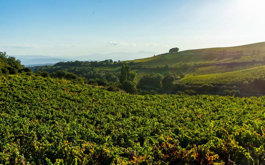 Tanto en Kripan como en el resto de Rioja Alavesa estamos de vendimias.